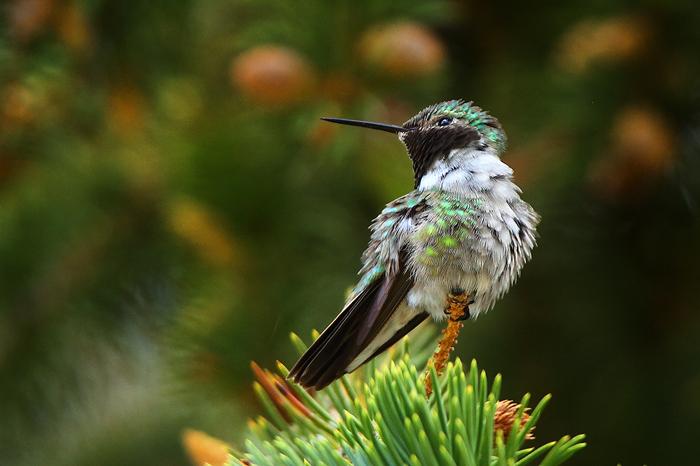 broad-tailed hummingbird, hummingbird, colorado, co, estes park, shrill, bird, perched, , photo