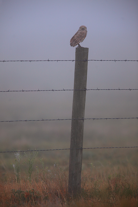 prairie, burrowing owl, eyes, owl, pawnee grasslands, grasslands, colorado, CO, foggy, morning, prey, hun, eye, animal, , photo