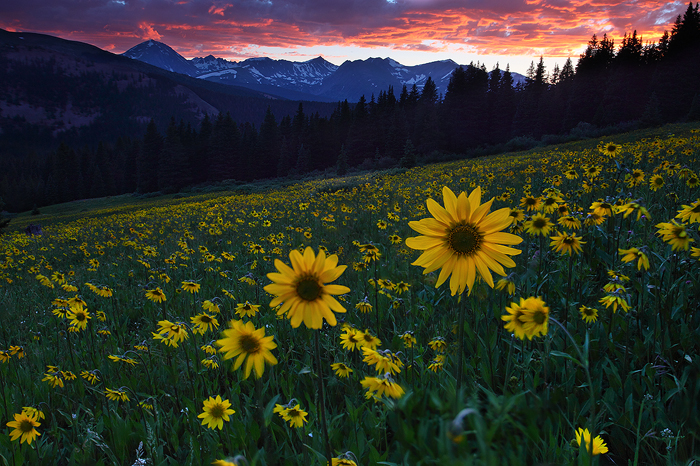 sun worshippers, worshippers, white river national forest, breckenridge, colorado, co, flowers, sunflowers, flower, suns, photo