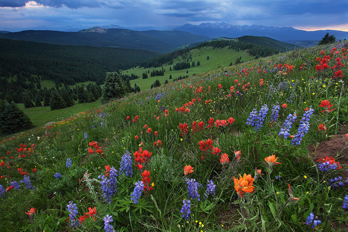 shrine ridge, shrine pass, white river national forest, colorado, co, vail, wildflowers, flowers, sawatch range, holy cr, photo