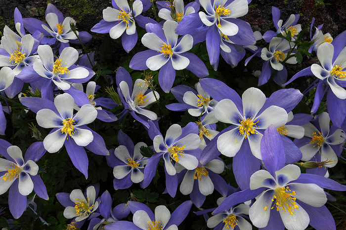 alpine bouquet  colorado blue columbines  white river national, Beautiful flower