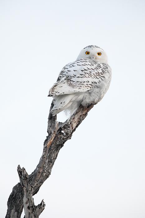 snow, ghost, snowy, owl, snowy owl, bubo scandiacus, horicon marsh, horicon, national wildlife refuge, wi wisconsin, win, photo