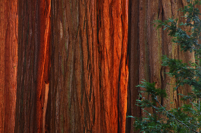 forest, titans, giant sequoia, sequoia, giant, sunset, red, bark, largest, tree, size, fires, die, old age, roots, gener, photo
