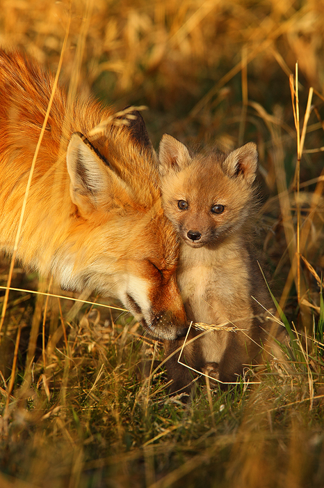 spring comfort, red fox, fox, red, vulpes vulpes, colorado, co, breckenridge, kit, baby, mom, sunset, , photo