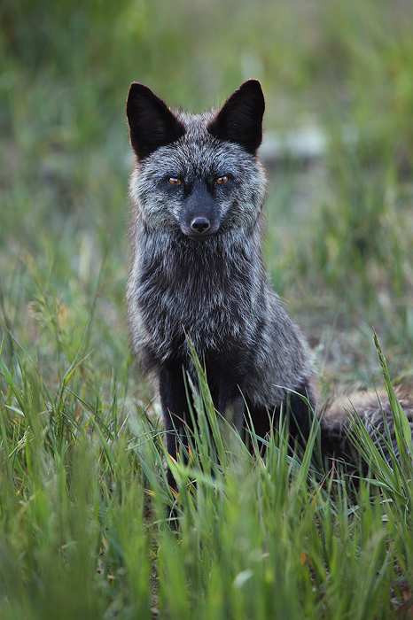silver, vixen, red, fox, vulpes, vulpes, black, fox, silverthorne, colorado, co, rare, phase, furs, valuable, wild, , photo