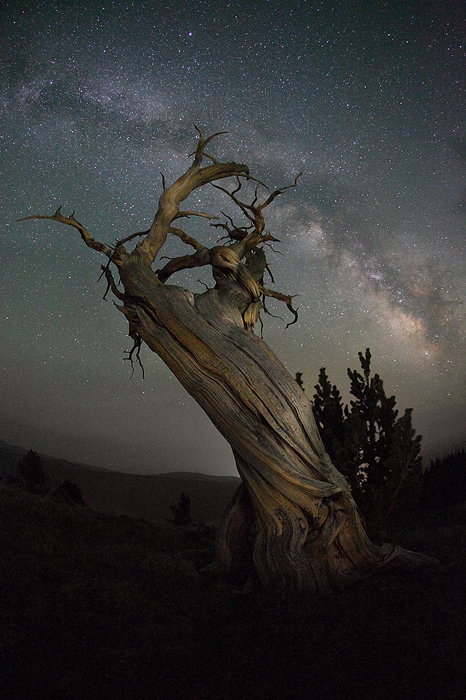 bristlecone, pine, windy, ridge, mt, bross, branches, milky, way, stars, old, ancient, age, mosquitto range. fairplay, t, photo