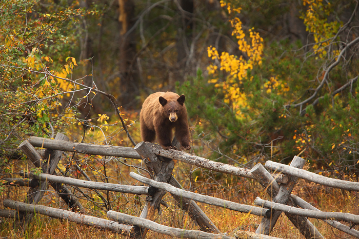 black, bear, cinnamon, grand, teton, national, park, wy, wyoming, fence, autumn, cute, small, little, young, photo