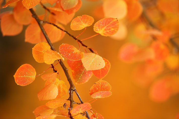aspen, leaves, branch, orange, fall, autumn, , photo