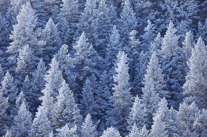 Pine trees are covered in hoarfrost on one of the coldest days in Colorado I can remember. These trees, on a north-facing slope...