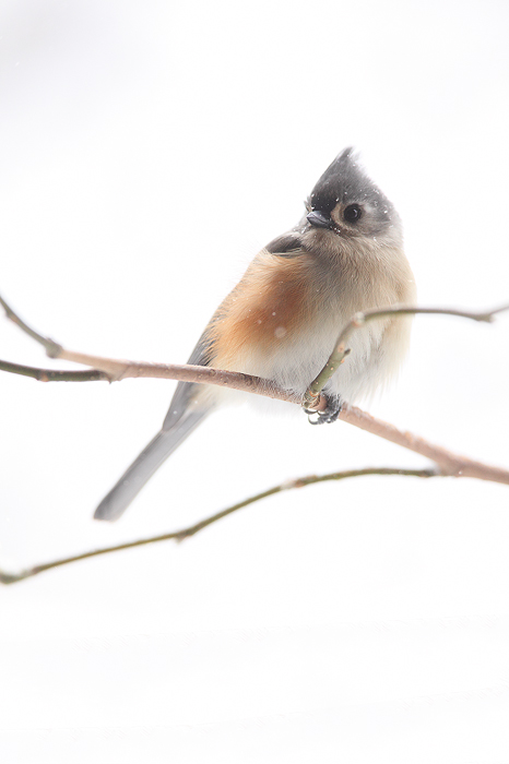 tufted, titmouse, wisconsin, snow, branch, wi, photo