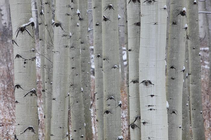 eyes, aspen, trees, eyes, trunks, quaking, leaves, white, , photo