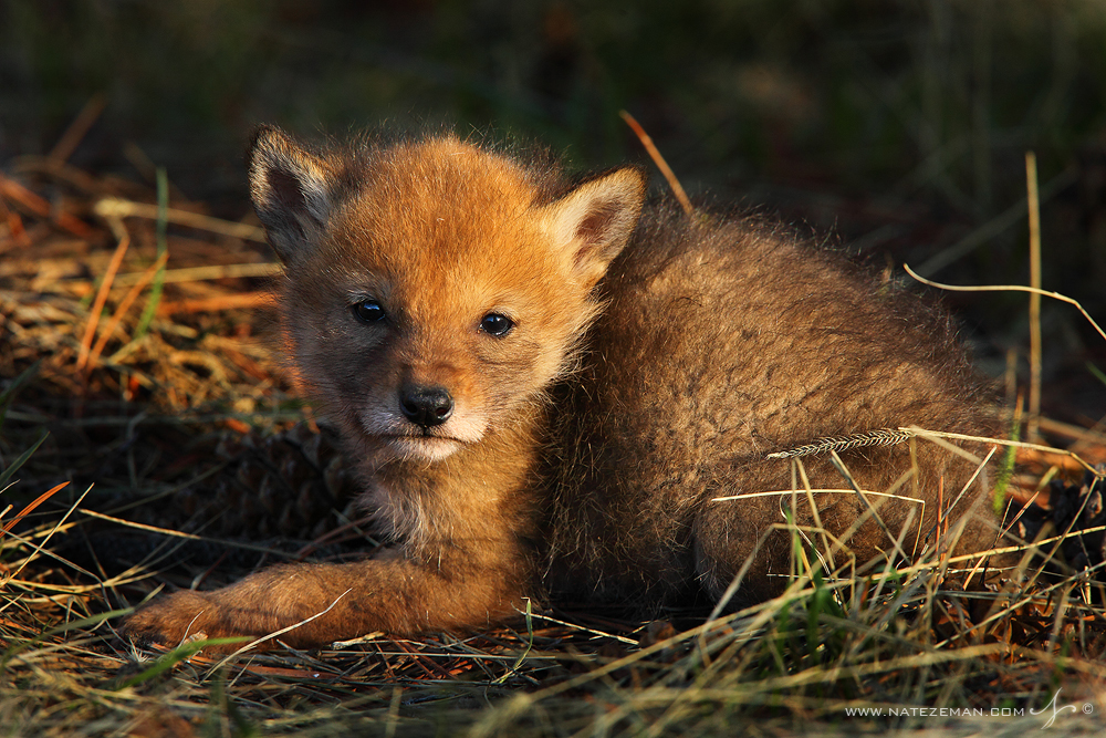 A newborn coyote pup soaks up the last rays of sun on a warm spring evening. I happened upon three of these tiny animals all...