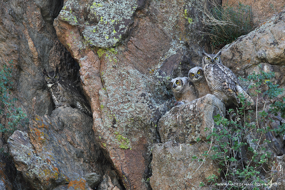 Four great horned owls sit atop a high cliff ledge-the spring and early summer home from which these male and female owls raised...