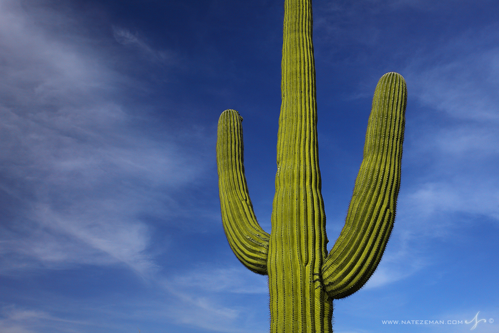 A giant saguaro cactus against a blue Arizona sky...Saguaros can grow to a height of 60 ft. and live for 150 years.  &nbsp...