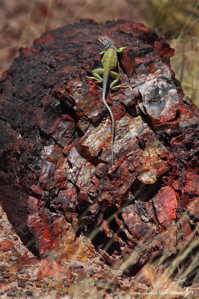 arizona, collared lizard, petrified wood, petrified forest, arizona, national park, , photo
