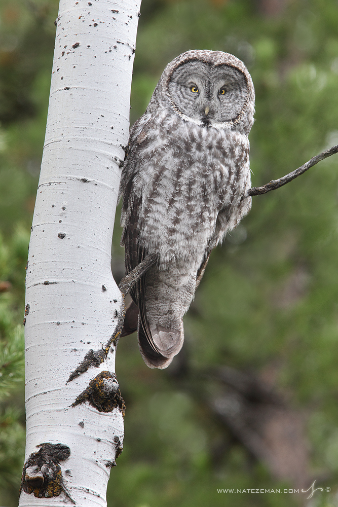 great grey owl, grand teton national park, , photo