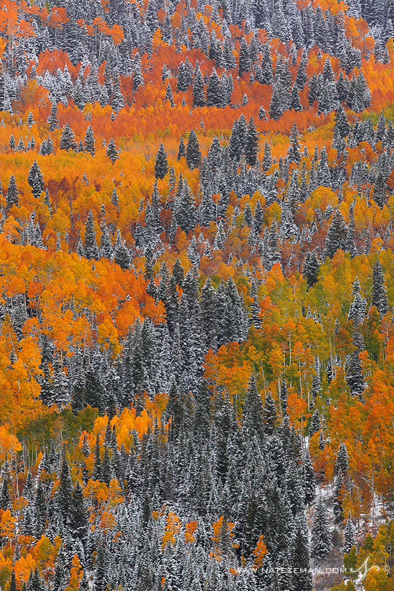 aspen, trees, autumn, fall, colorado, snow, golden, orange, red, , photo