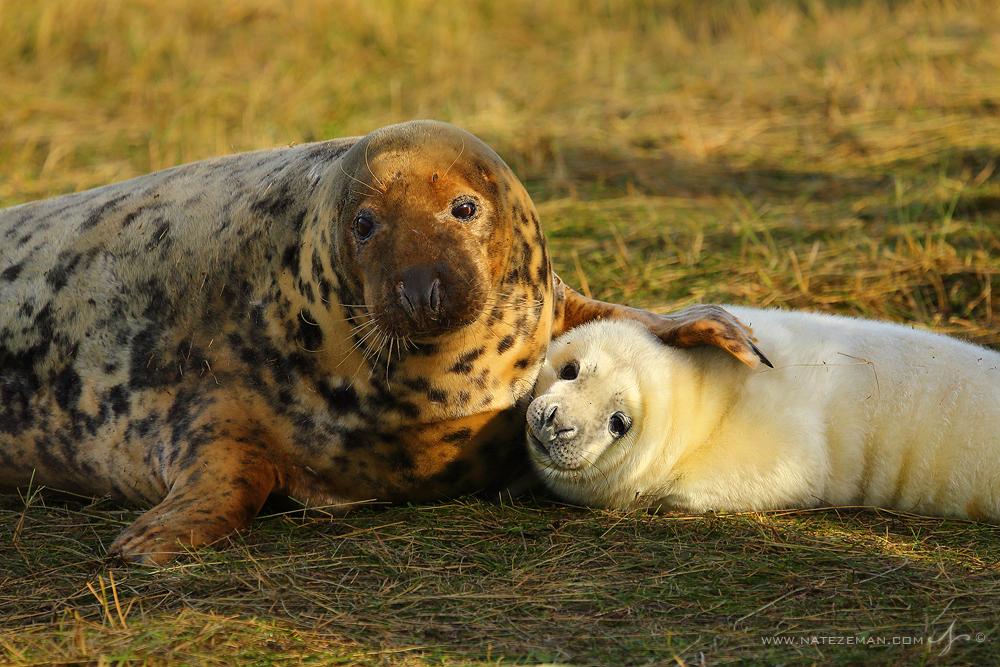 grey seal, gray seal, donna nook, england, lincolnshire, pup, birth, photo
