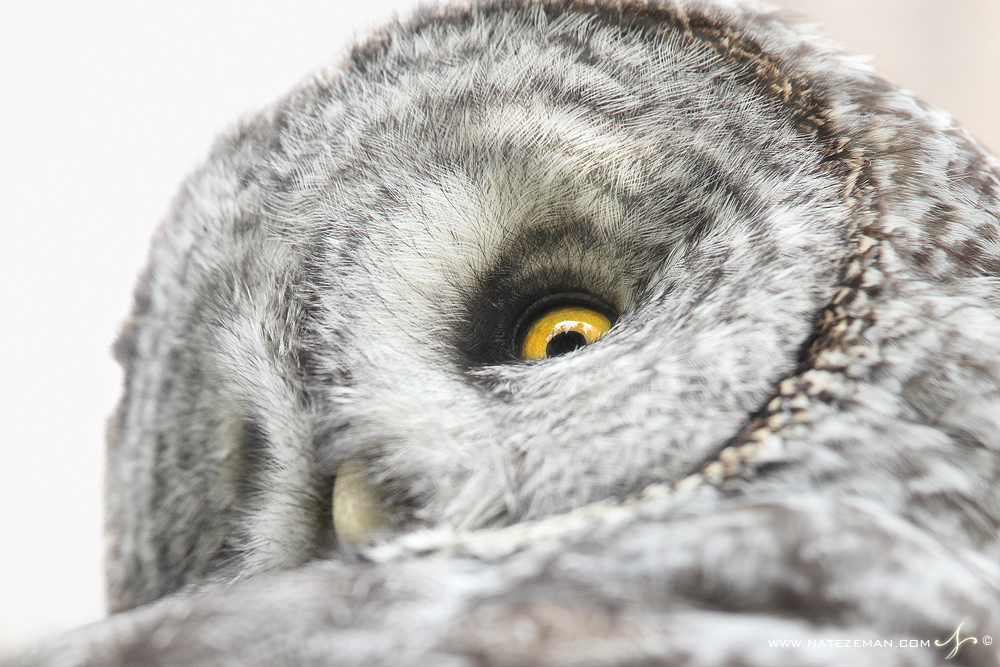 great grey owl, great gray owl, strix nebulosa, grand teton national park, silent, stealth, , photo