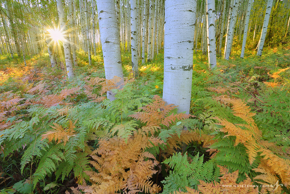 Ferns, mcclure pass, gunnison national forest, aspen, autumn, fall, , photo