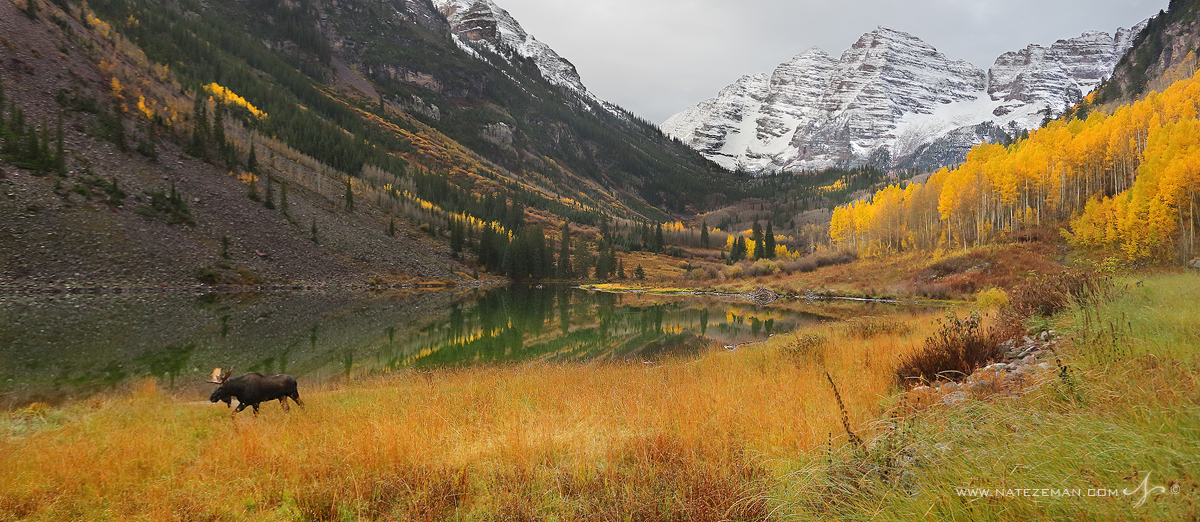 maroon bells, moose, aspen, colorado, maroon lake, aspens, fall, autumn, bull, , photo