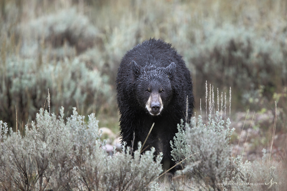 american black bear, black bear, grand teton national park, wyoming, tetons, photo