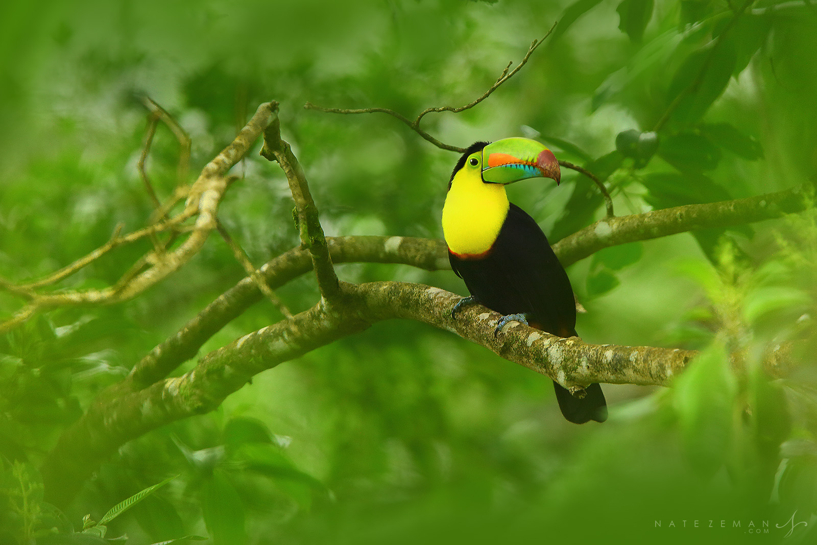 The vibrant rainbow colorings of the keel billed toucan stand out against the lush Costa Rican rainforest. These toucans have...