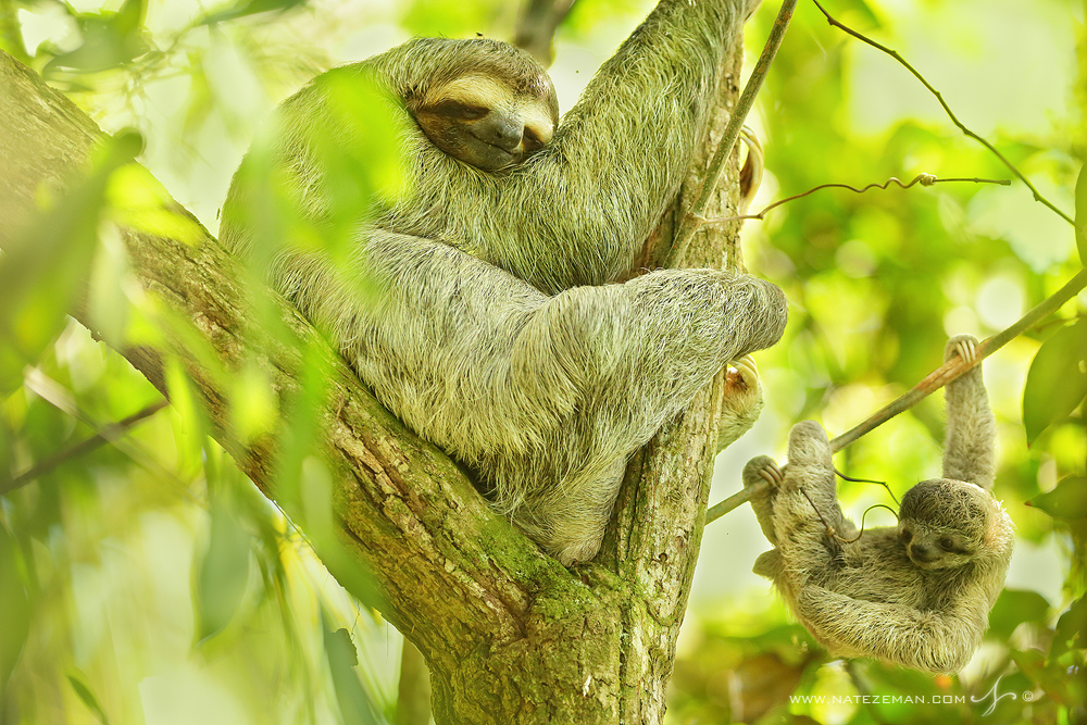 sloth, costa rica, baby, baby sloth, three toed sloth, wild, , photo