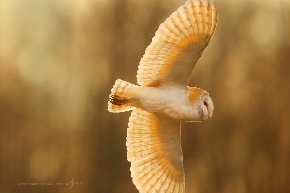 barn owl, hertfordshire, england, United kingdom, photo