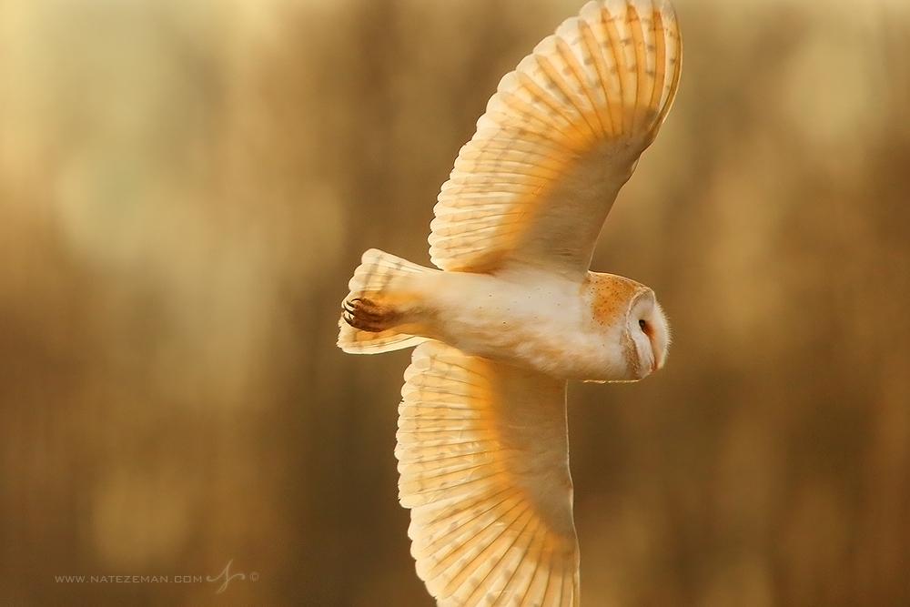 barn owl, hertfordshire, england, United kingdom, photo