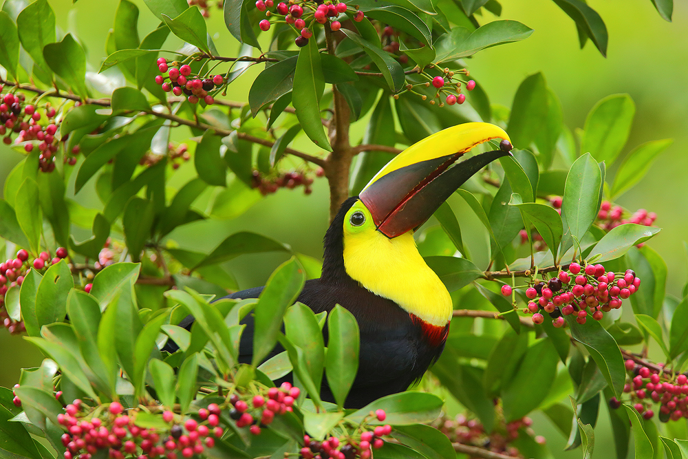 Chestnut Mandibled Toucan, costa rica, arenal,, photo
