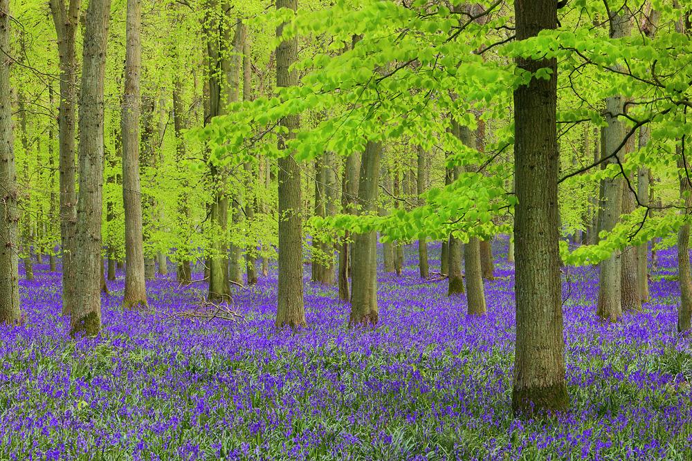 dockey wood, bluebells, forest,  england, ashridge estate, , photo