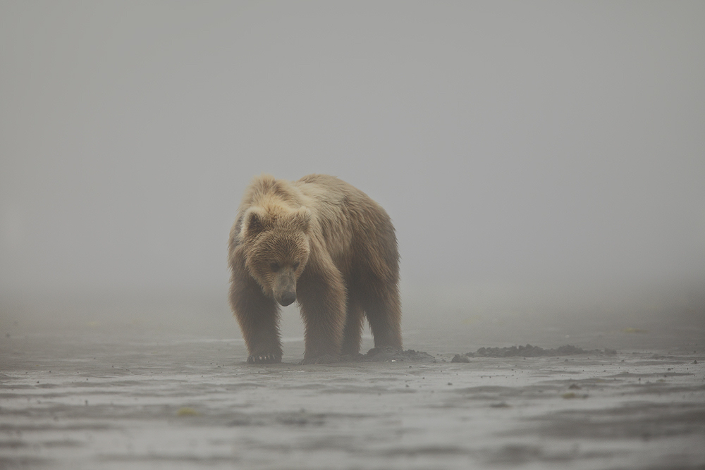 brown bear, katmai national park, alaska, clams, , photo
