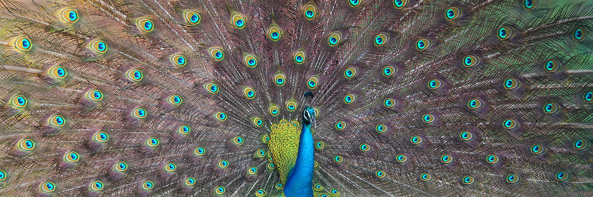 Although the peacock has been introduced to many locations around the world, they are only native to to the Indian subcontinent...