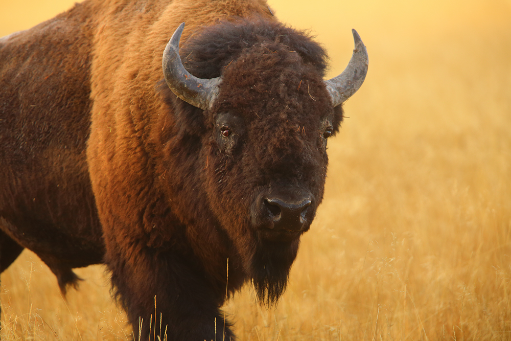 bison, yellowstone national park, wyoming, , photo