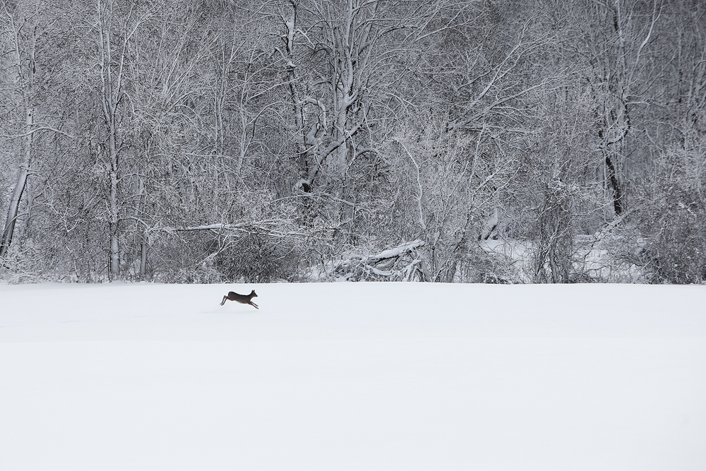 wisconsin, wonderland, white tailed deer, deer, erin, wisconsin, snow, black an white, beautiful, photo