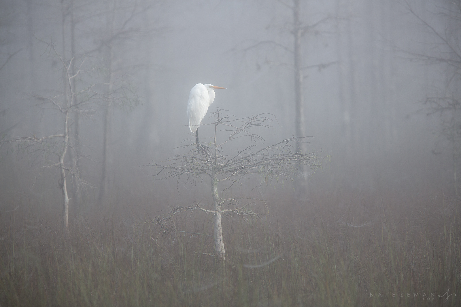 great egret, big cypress national preserve, dwarf, egret, fog, , photo