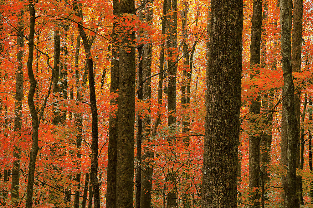 great smoky mountains national park, smokies, smoky mountain, trees, fall, color, fall color, autumn color, foliage, , photo