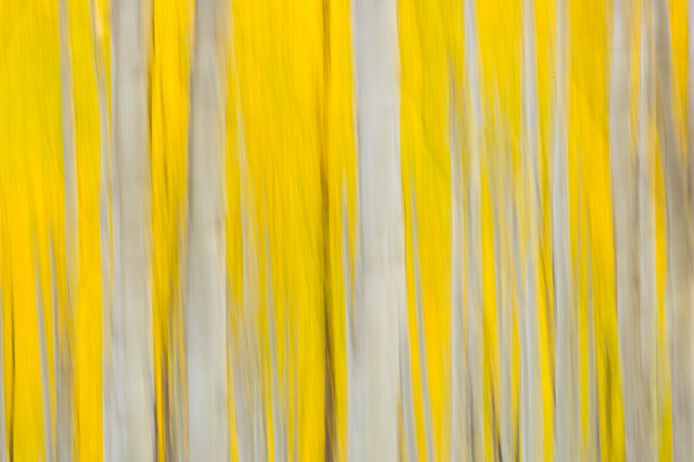 A slight movement of the camera combined with a slow shutter speed gives this photograph a painterly take on a grove of aspen...