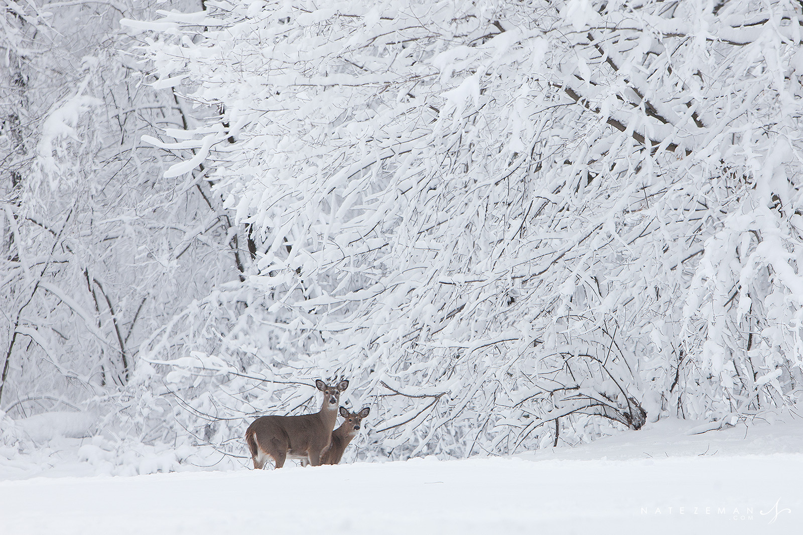 white tailed deer, deer, snow, wisconsin, , photo