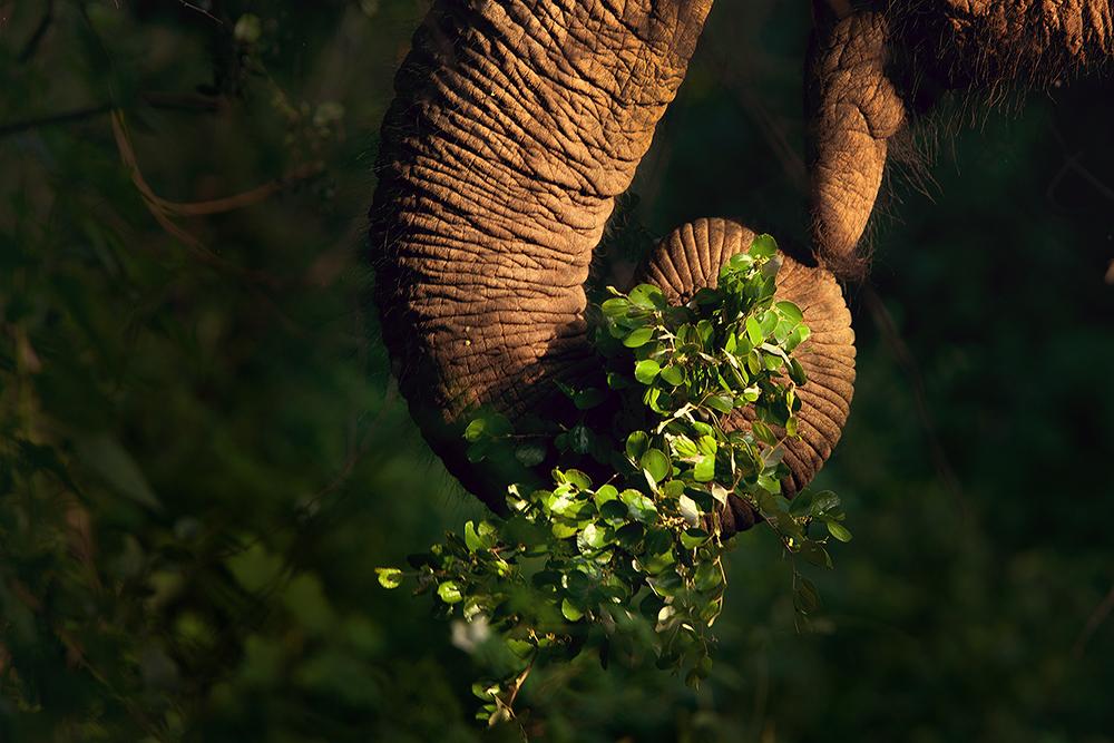 sri lankan elephant, elephant trunk, eating, sri lanka, yala,  national park, feeding, photo