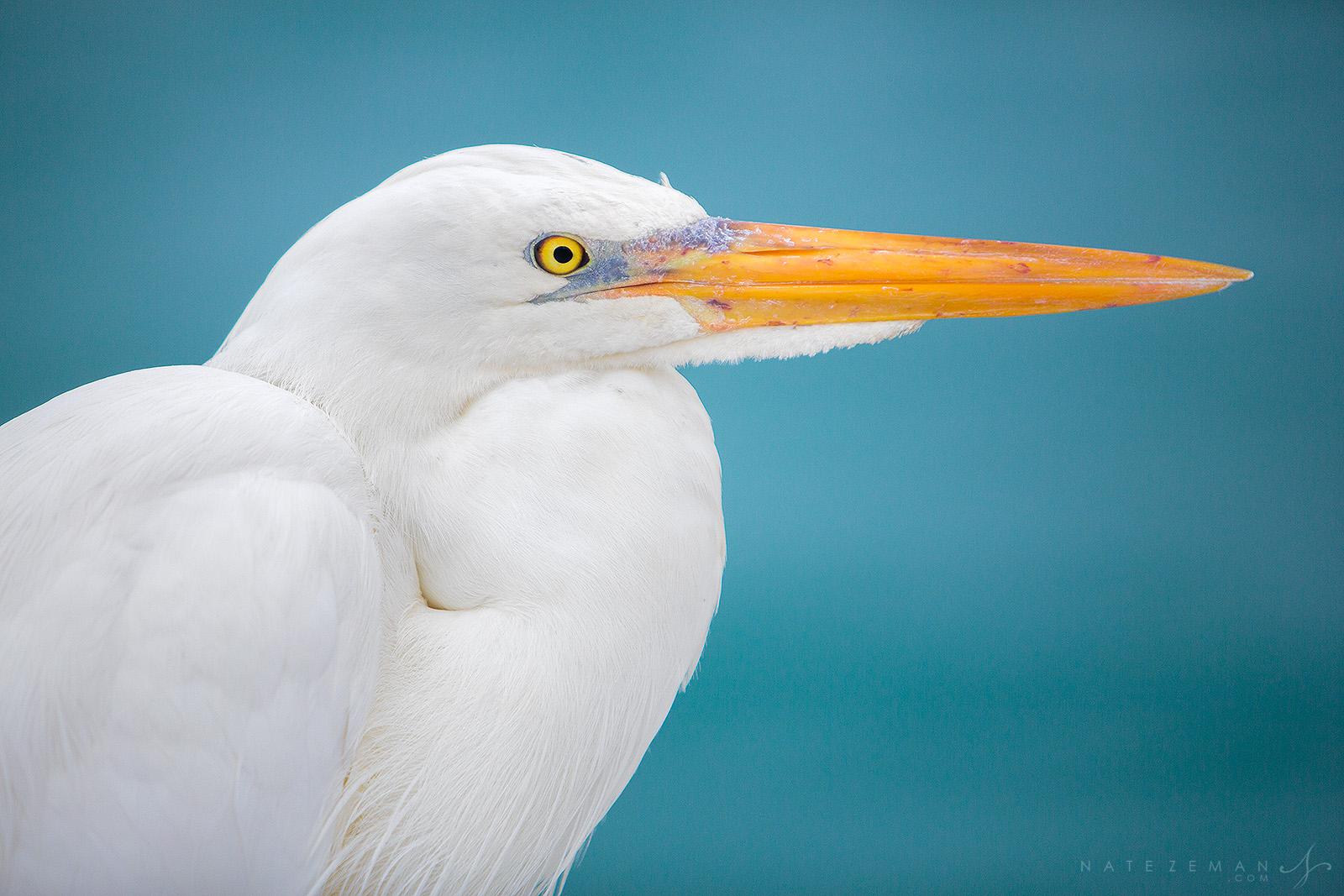 great egret, florida keys, key west, florida, portrait, aqua, blue, water, photo
