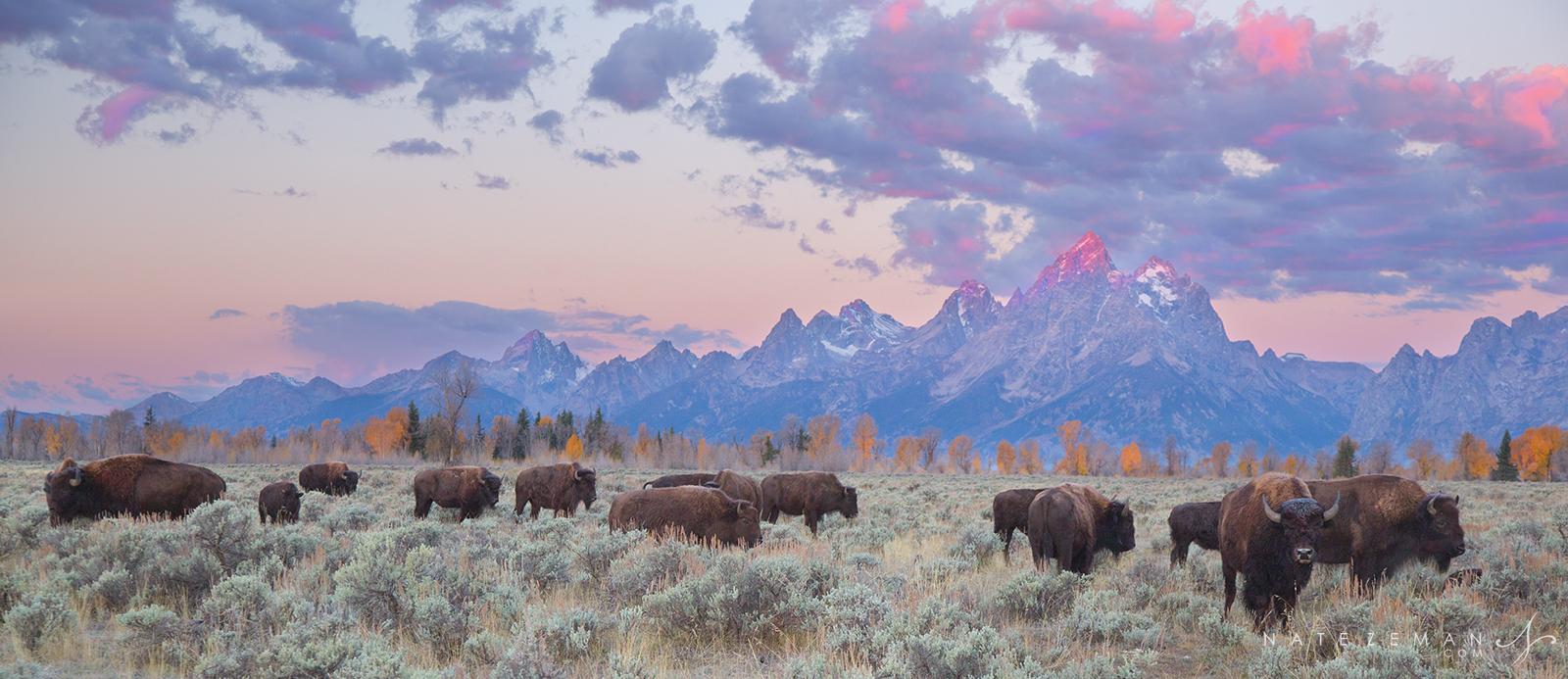 bison, buffalo, grand teton national park, tetons, , photo