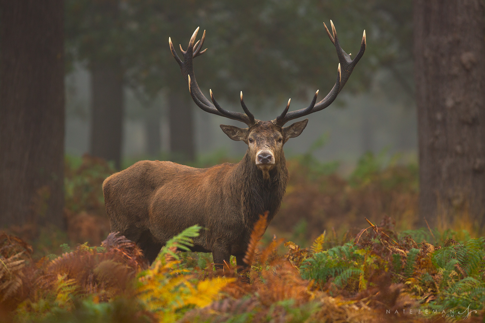 Red deer, stag, hart, buck, london, richmond park, antlers, , photo