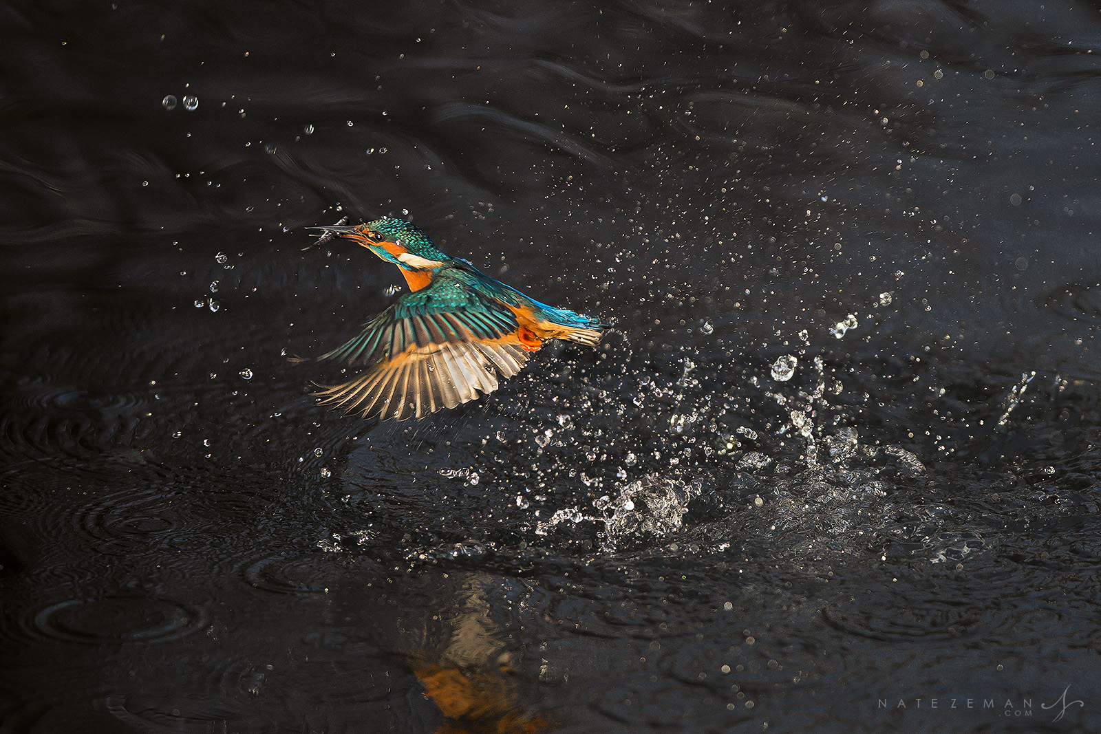 kingfisher, fishing, eurasian, common, fish, catching, catch, water, splash, river ver, united kingdom, photo