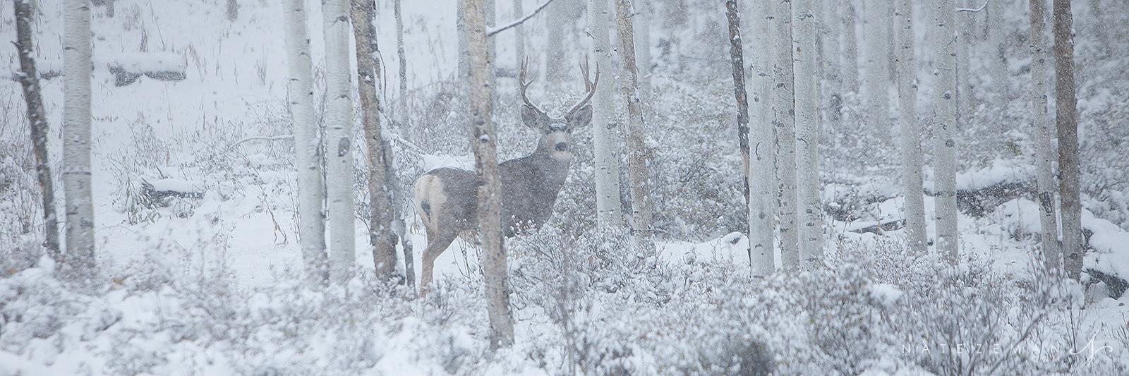 mule deer, buck, deer, colorado, snow, aspen, forest, woods, san juan mountains, co, photo