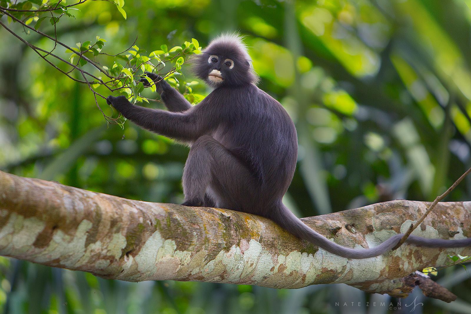 dusky leaf monkey, dusky langur, spectacled langur, malaysia, thailand, myanmar, burma, iucn, near threatened, , photo