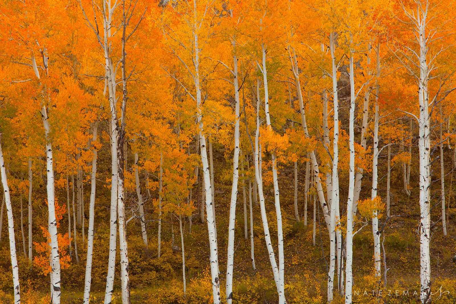 aspen trees, trunks, colorado, uncompahgre, co, san juans, autumn, fall, photo