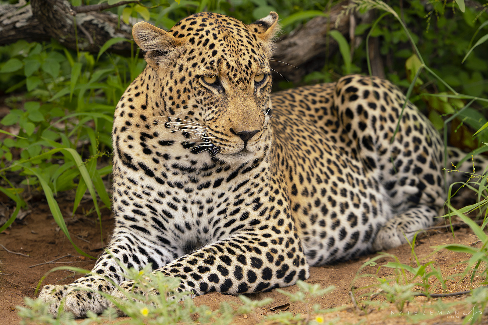 In the shadow of a small treea beautiful male leopard seeks respite from the blisteringheat of the midday sun. While...