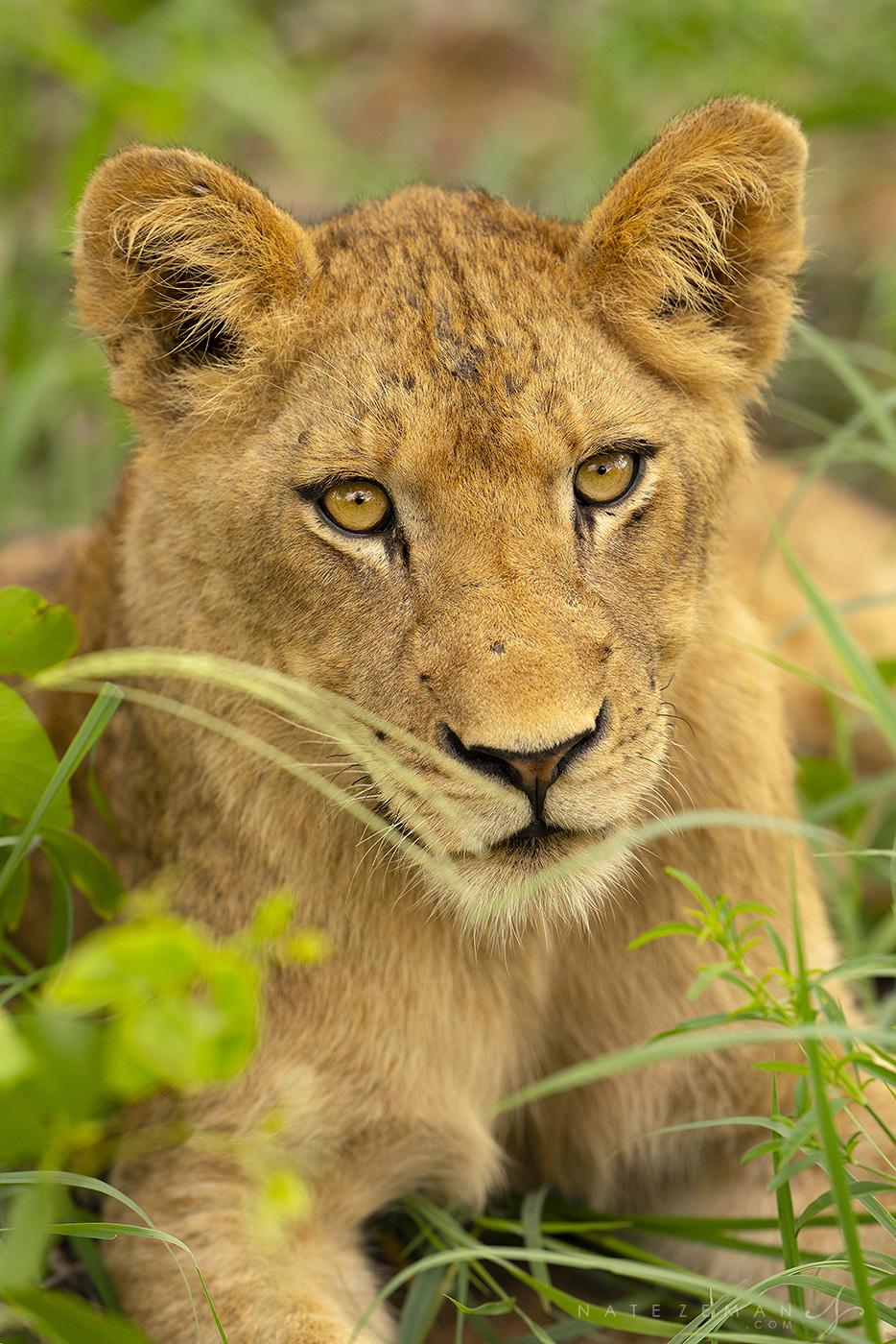 By the time we found the pride of lions we had been tracking all morning the temperature had already become quite hot. The pride...